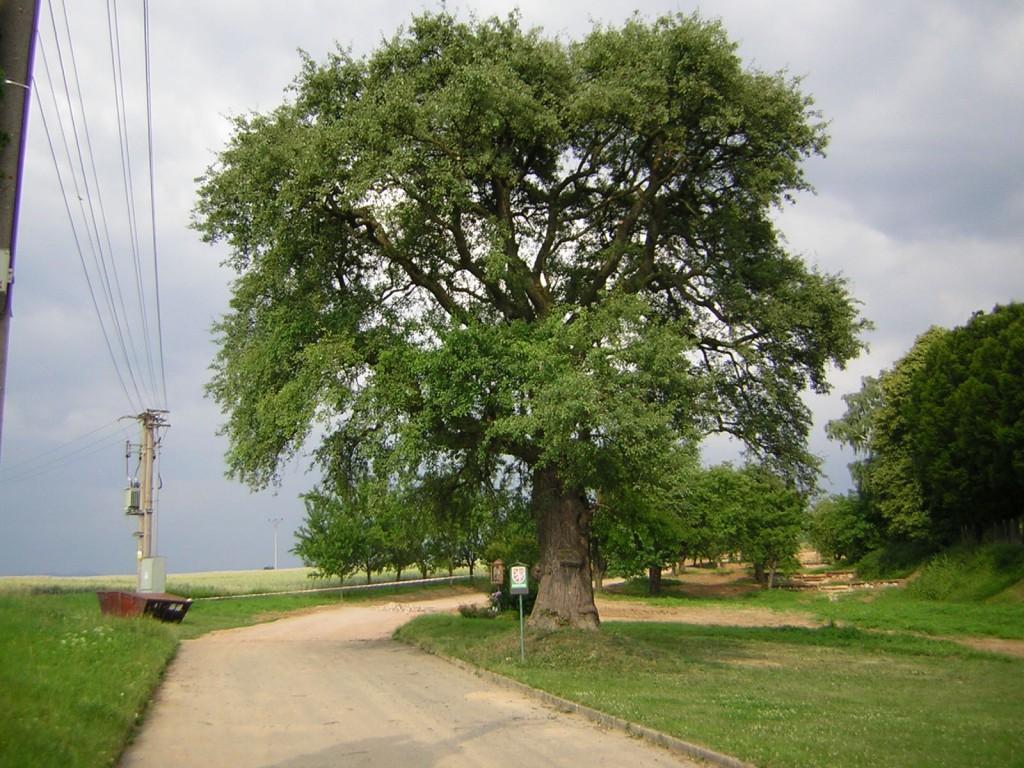 Ošetření památného stromu